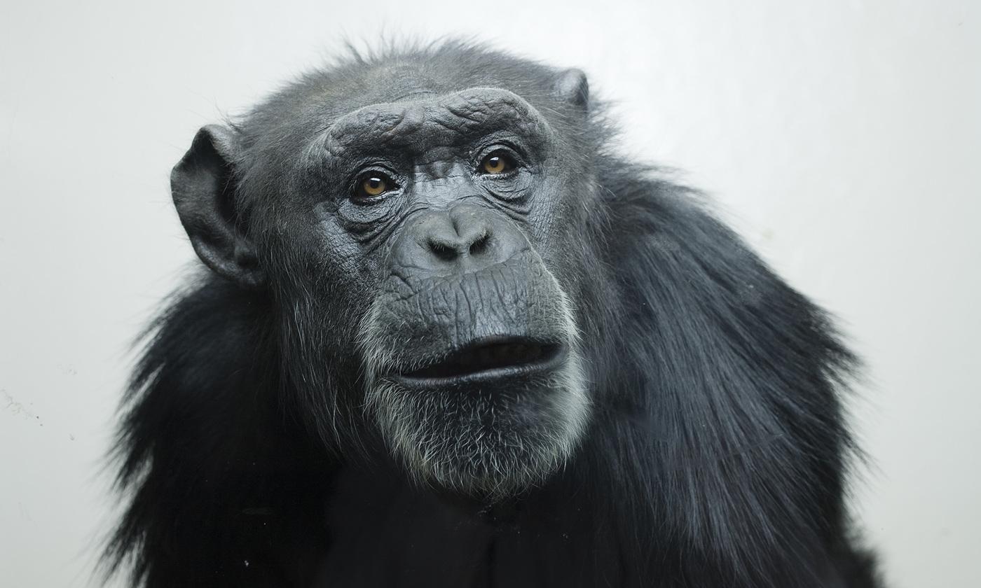 The pointing ape   Aeon