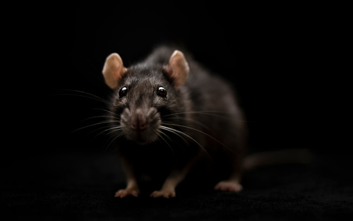Rats are us   Aeon
