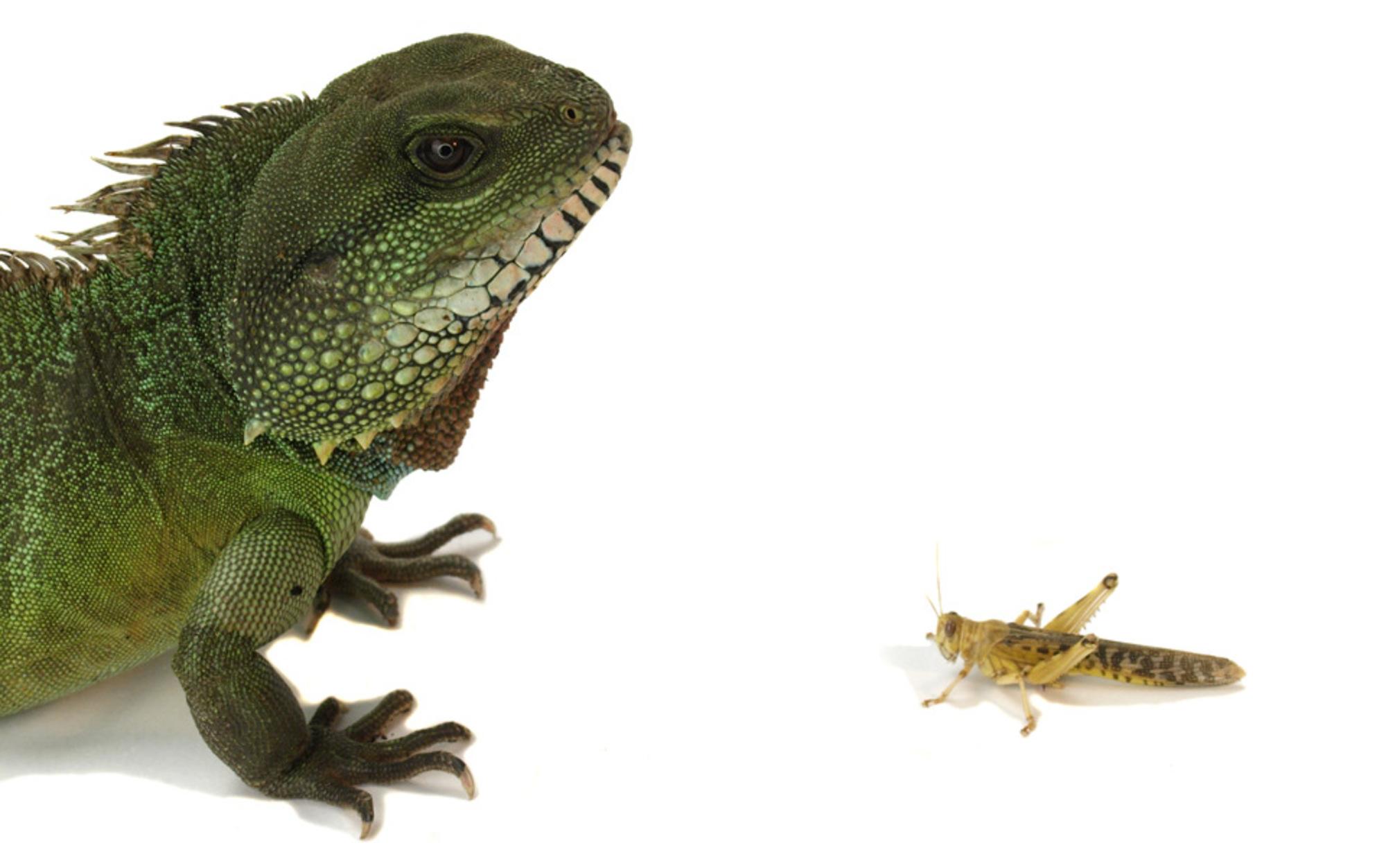 Header locust and chameleon