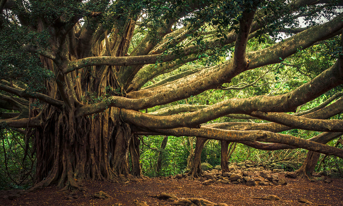 A banyan tree. <em>Photo by thomas/Flickr</em>