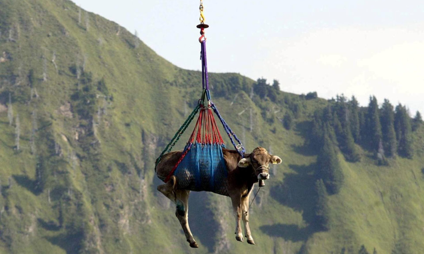 Cows might fly | Aeon