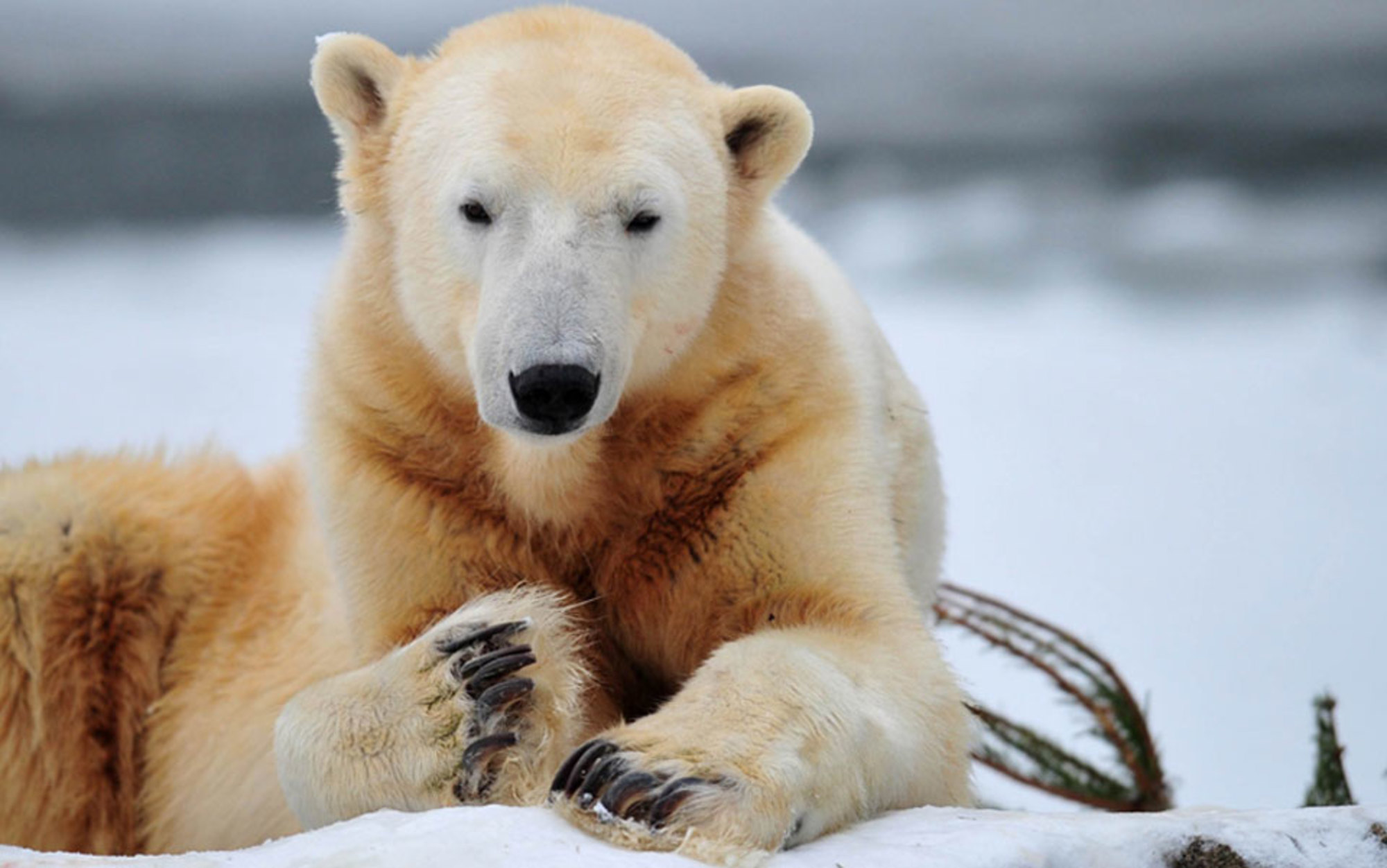 expository essay on polar bears Expository essay on global these changes are causing extinction in some animals like the polar bears and the melting process for expository essays.