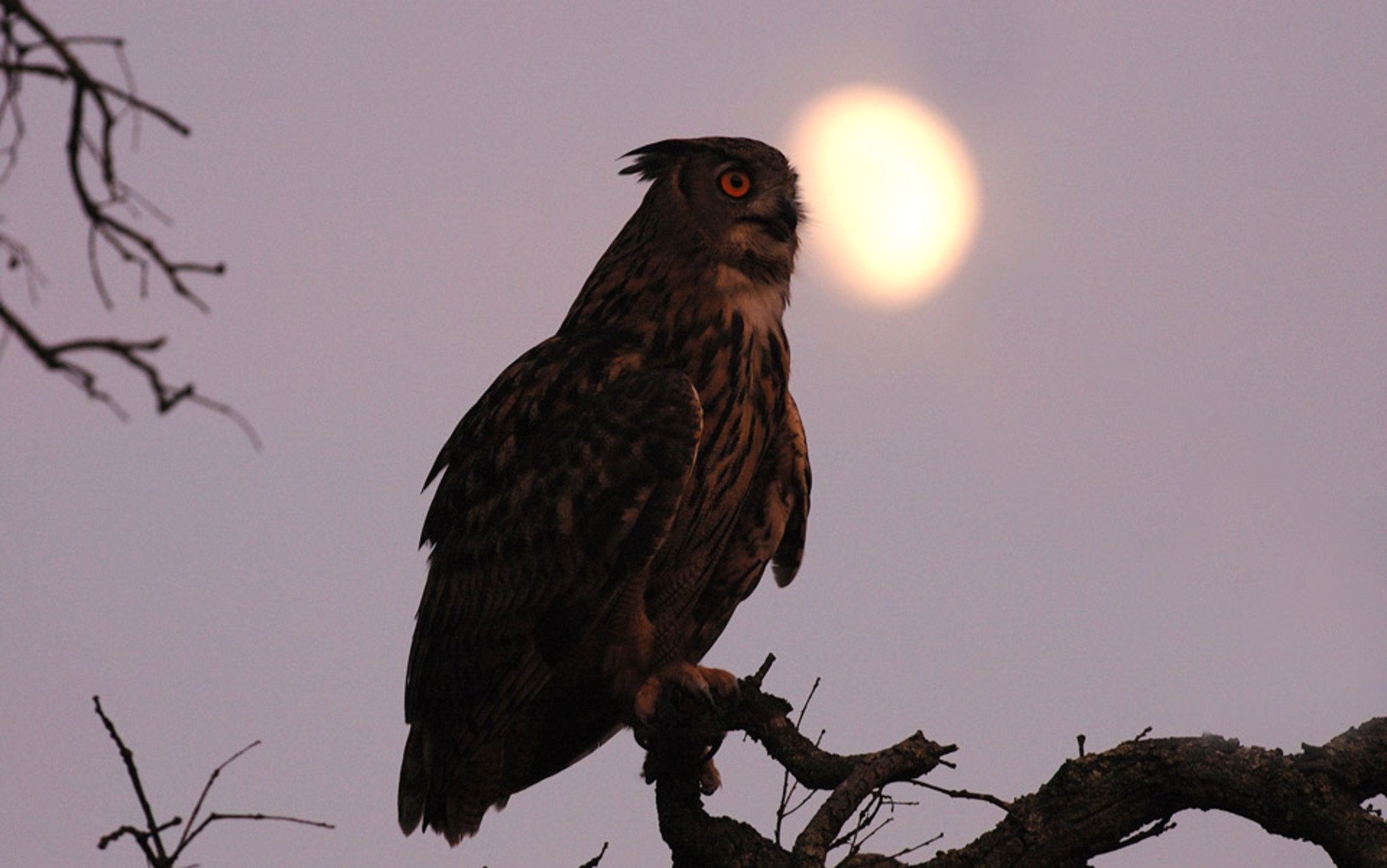 Header eagle owl