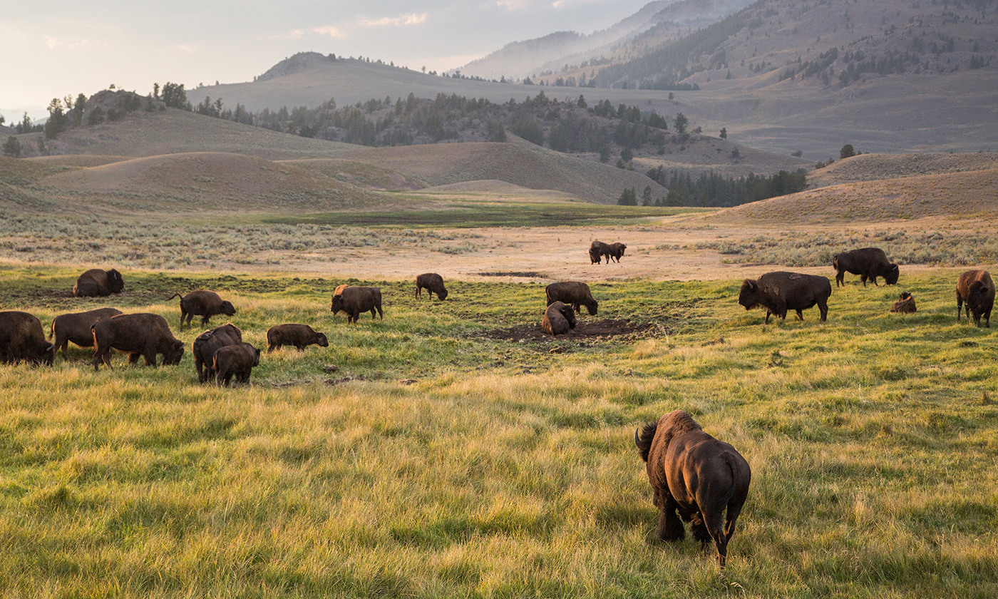 North American bison roam the Lamar Valley in Montana. <em>Photo by Neal Herbert/Flickr</em>